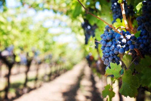 langhe-purple-grapes-553463_640
