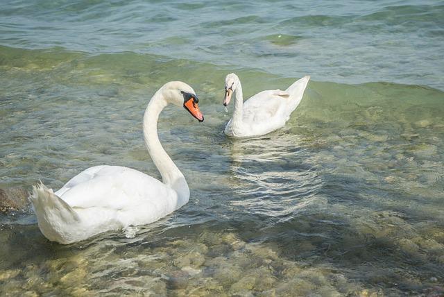 lago di garda-swans-945057_640