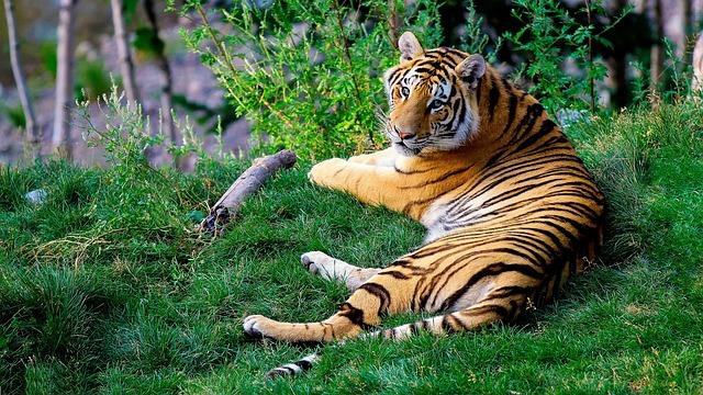 Tigre del Bengala - Unsplash
